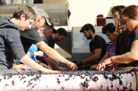 Te Mata staff checking grapes at the winery sorting table in New Zealand.